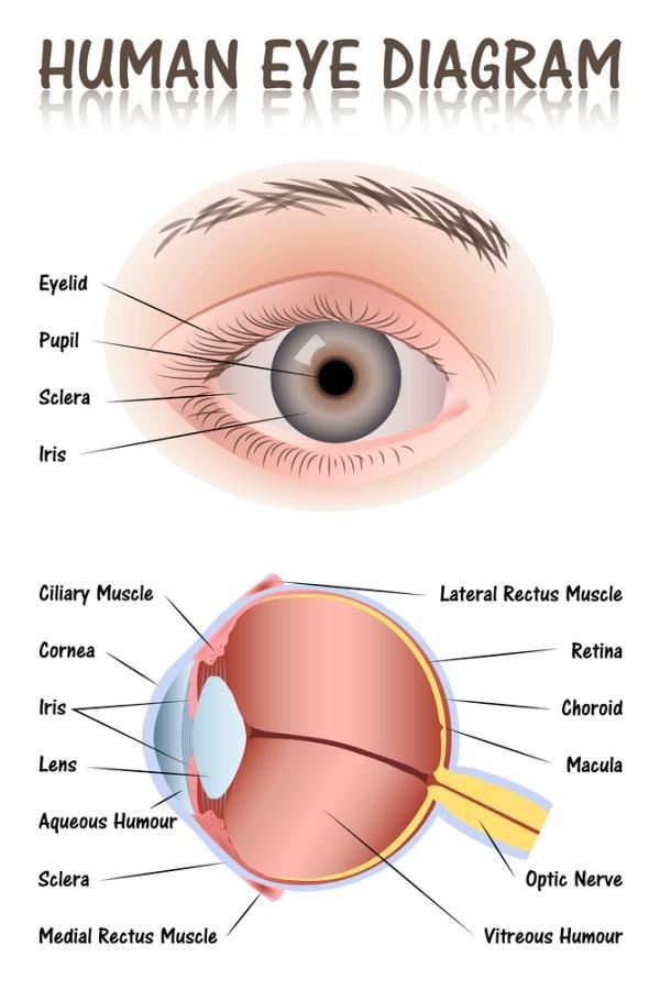 מבנה העין - הסבר על ידי דיאגרמה